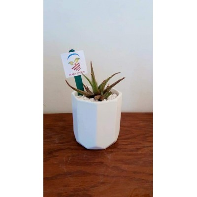 Aloe Vera Plant in White Pot