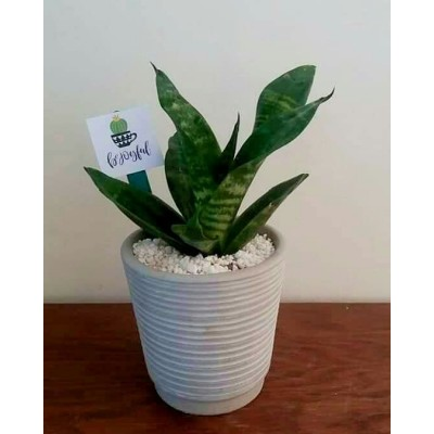 Snake Plant in White Pot
