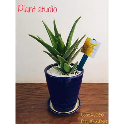 Aloe Vera Plant in Blue Pot